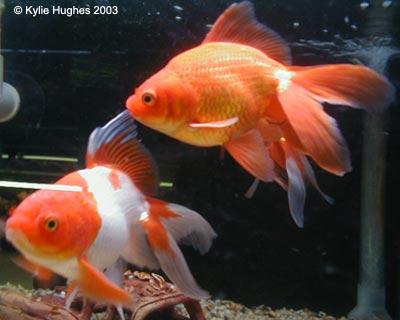 http://www.wetpetz.com/goldfish.htm